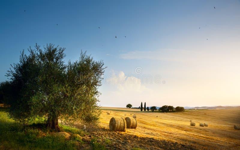 意大利 托斯卡纳农田和橄榄树;夏天乡下土地 免版税库存图片