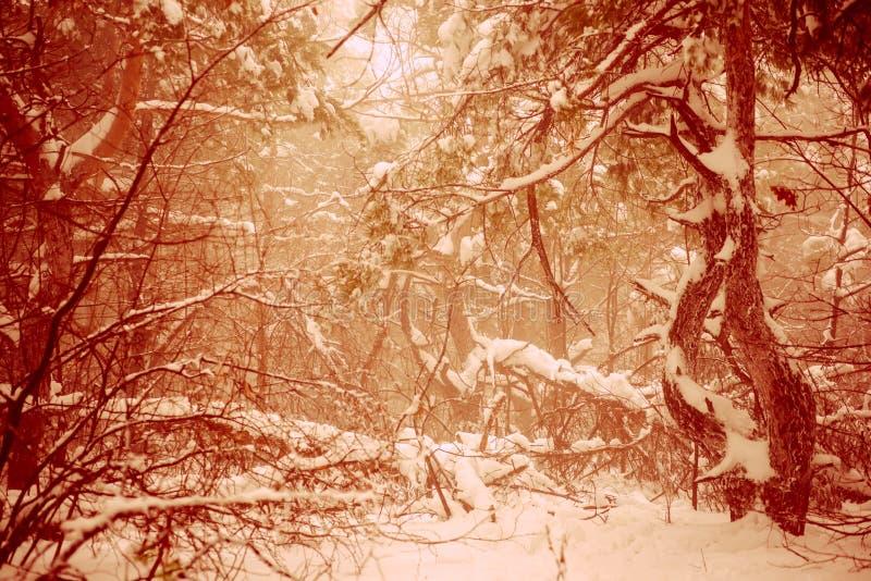 意想不到的圣诞节神奇冬天多雪的森林剧烈的ove 免版税库存照片