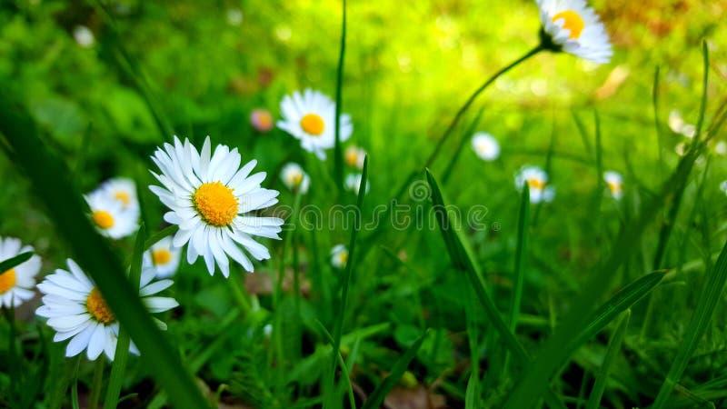 意想不到的细节本质上 春黄菊花在绿草关闭  春黄菊花、绿草和阳光 库存图片