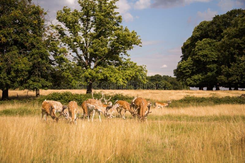 任意漫游在户外公园的鹿 库存照片