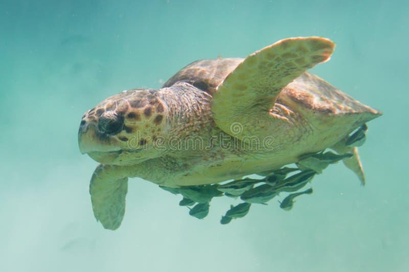 愚人海龟 免版税库存照片