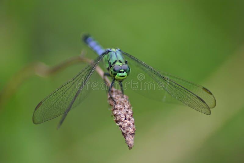 愚蠢的蜻蜓 免版税图库摄影