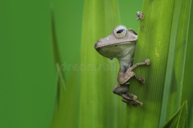 愚钝的青蛙婆罗洲 库存照片