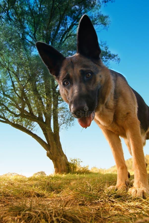 感兴趣的狗 免版税库存照片