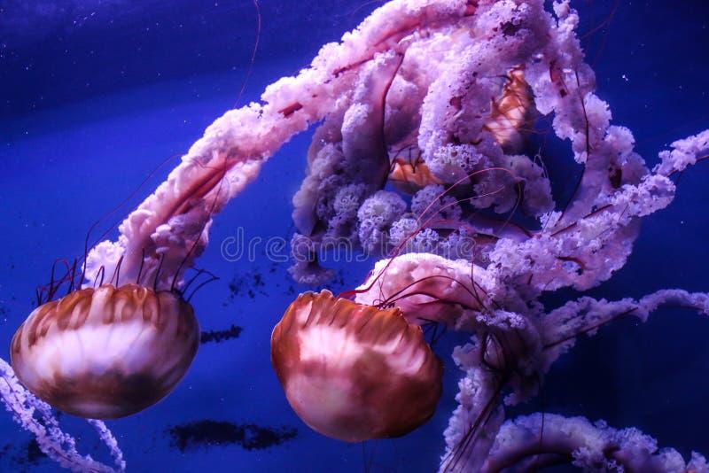 慢大桃红色海水母游泳在大海 免版税库存照片