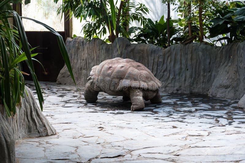 慢慢地移动一只大的乌龟 免版税库存图片