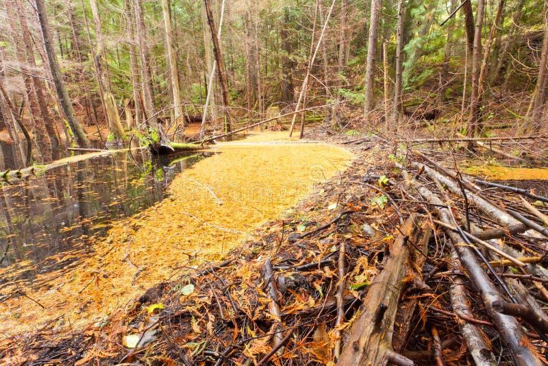 慢慢移动在秋天色的森林沼泽地沼泽的水坝 库存照片