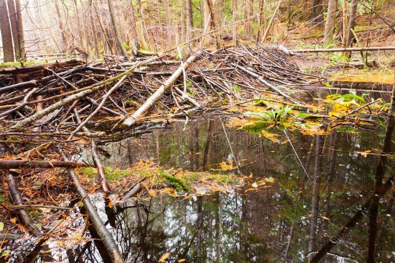 慢慢移动在秋天色的森林沼泽地沼泽的水坝 库存图片