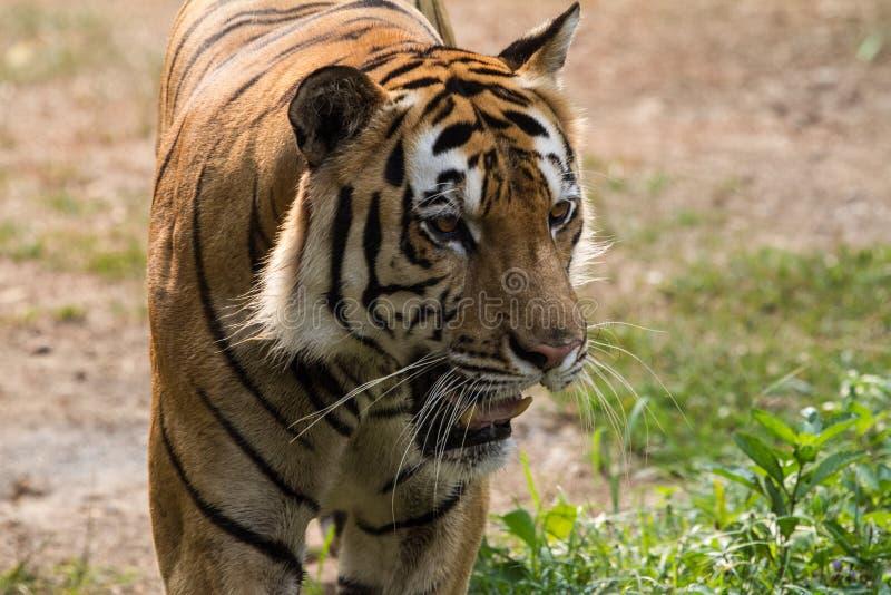 慢苏门答腊老虎步行往照相机 免版税图库摄影