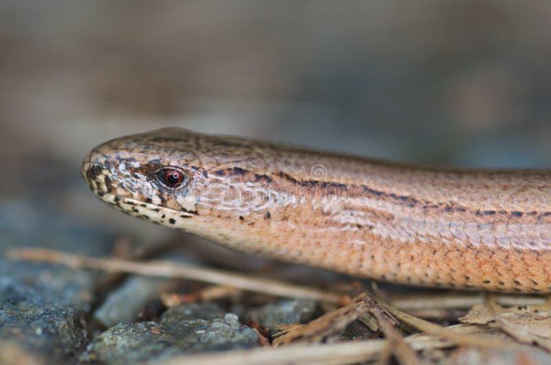 慢蠕虫或瞎的蠕虫,脆弱类的Anguis 库存照片