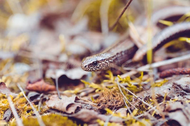 慢蠕虫或瞎的蠕虫,脆弱类的Anguis 免版税库存图片