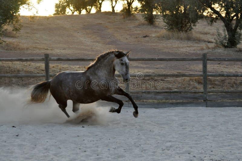 慢跑灰色的马 免版税图库摄影