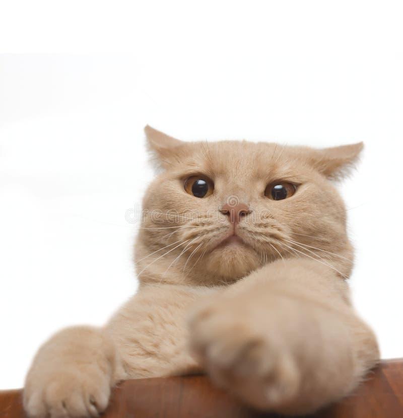 懊恼猫查出的白色 免版税库存照片