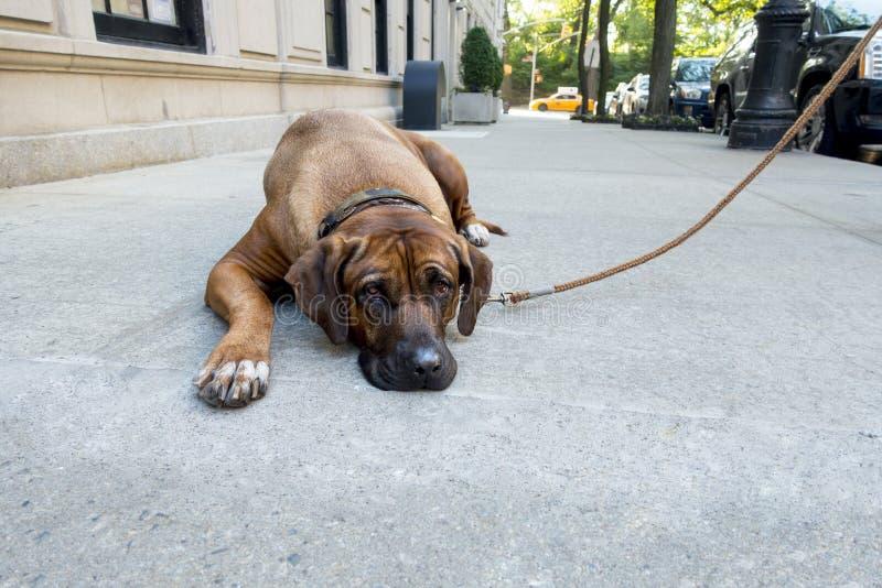 懒惰倔强英国大型猛犬宠物在纽约人行道躺下,并且狗被赢取的` t起来做他的每日步行城市黄色c 库存图片