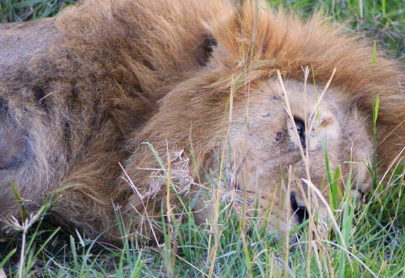 Download 懒惰狮子 库存图片. 图片 包括有 懒惰, 闹事, 肯尼亚, 快速, 食肉动物, mara, 坦桑尼亚, 鬃毛 - 62528737