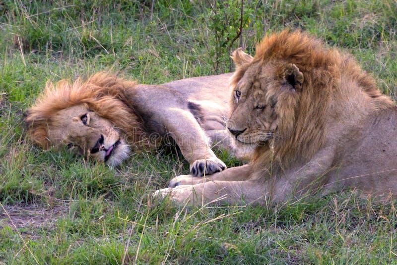 Download 懒惰狮子 库存图片. 图片 包括有 疲乏, 猎人, 狮子, 快速, 重婚, 系列, 懒惰, 肯尼亚, 闹事 - 62529277
