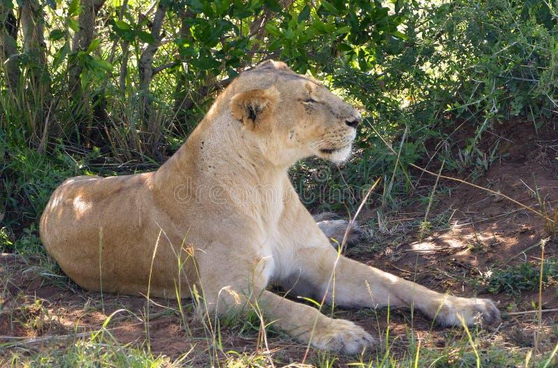 Download 懒惰狮子 库存照片. 图片 包括有 猎人, mara, 系列, 父亲, 关心, 鬃毛, 肯尼亚, 懒惰, 朋友 - 62529332