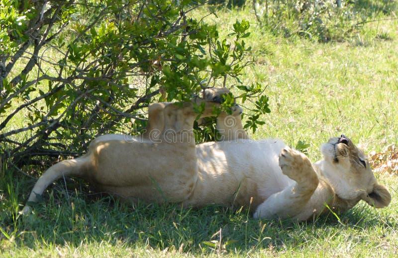 Download 懒惰狮子 库存照片. 图片 包括有 系列, 逗人喜爱, 重婚, 关心, 快速, 猎人, 闹事, 疲乏, 徒步旅行队 - 62530318
