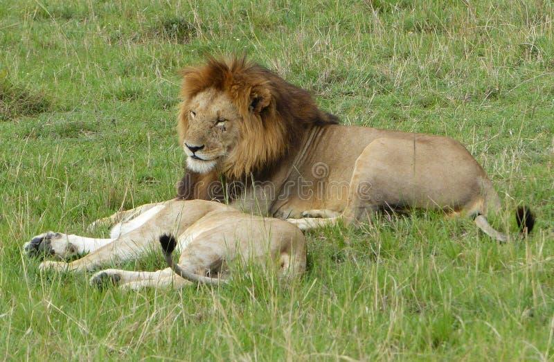 Download 懒惰狮子 库存照片. 图片 包括有 快速, mara, 关心, 疲乏, 猎人, 重婚, 狮子, 母亲, 懒惰 - 62530932