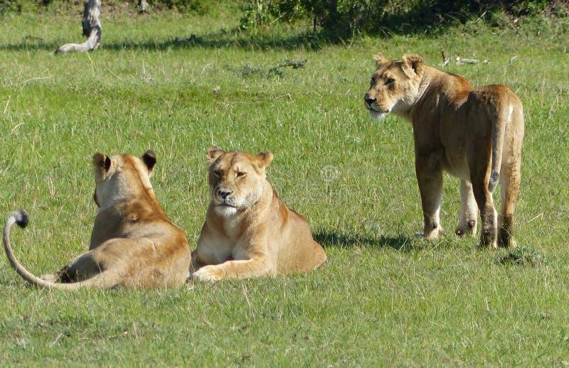 Download 懒惰狮子 库存图片. 图片 包括有 逗人喜爱, 父亲, 徒步旅行队, 关心, 坦桑尼亚, 懒惰, 重婚, 狮子 - 62531339