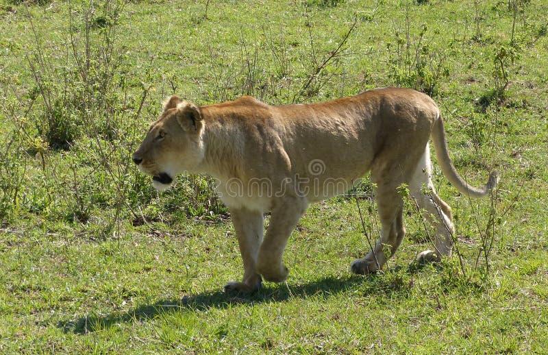 Download 懒惰狮子 库存照片. 图片 包括有 父亲, 鬃毛, 快速, 闹事, 重婚, mara, 关心, 狮子, 懒惰 - 62531522