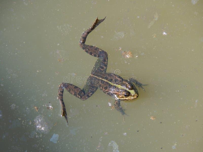 懒惰的青蛙 库存照片