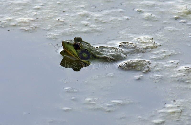 懒惰的青蛙 库存图片
