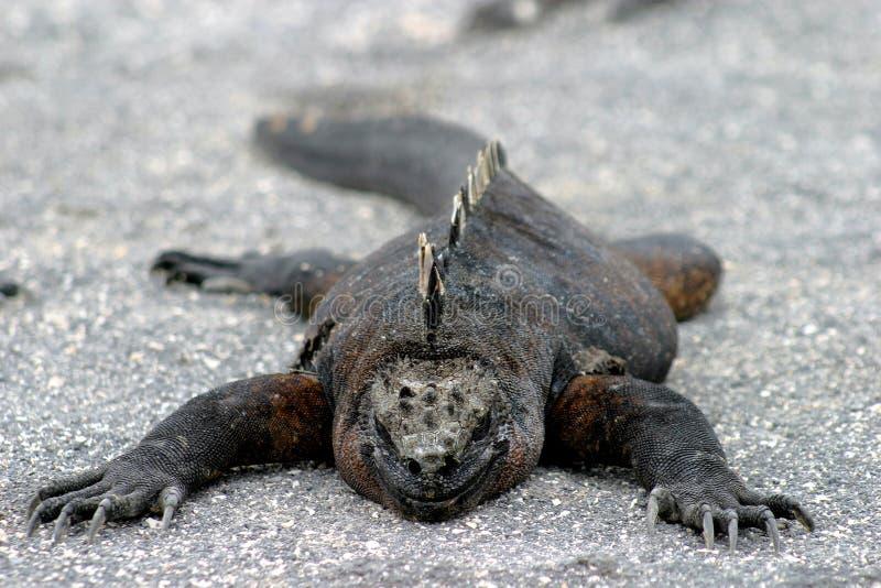 懒惰蜥蜴 库存图片
