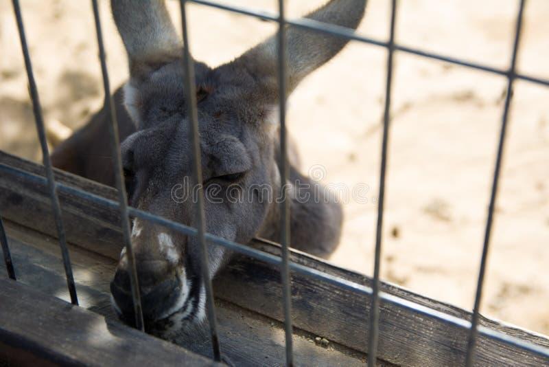 懒惰袋鼠在动物园里 库存图片