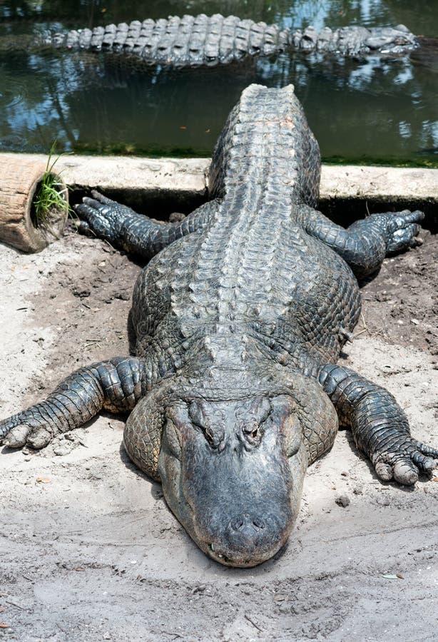 懒惰鳄鱼晒黑 库存照片
