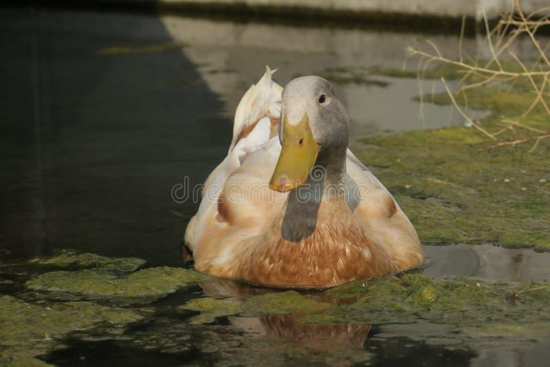 懒惰鸭子 免版税库存图片