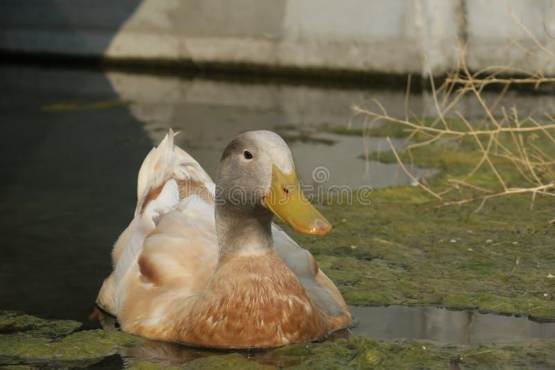 懒惰鸭子 免版税库存照片