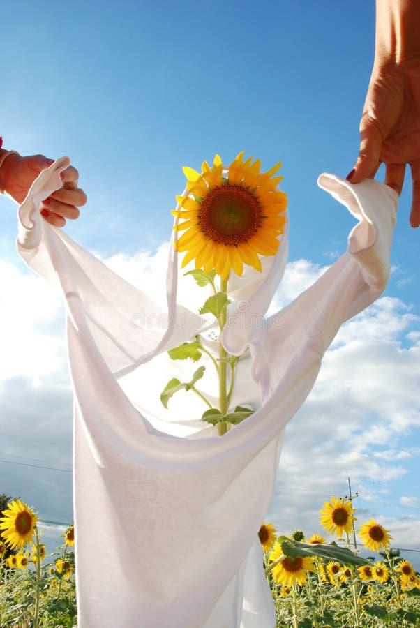 戏剧想法用向日葵在农场 库存图片
