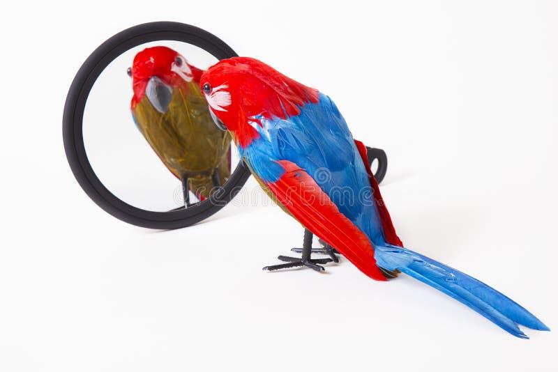 戏弄调查镜子的鹦鹉 免版税库存照片