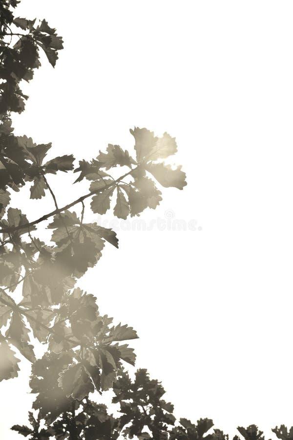 成为不饱和的橡木离开反对明亮的晴朗的天空 免版税库存图片