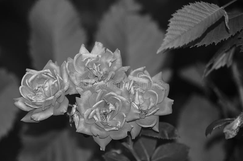 成为不饱和的玫瑰 免版税库存图片