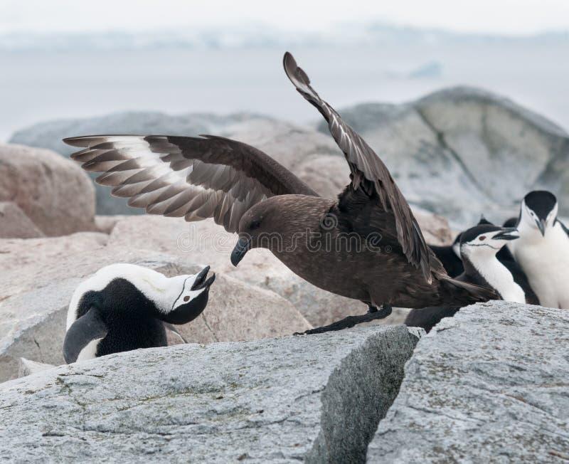 成人从成人布朗贼鸥,有用的海岛,南极半岛的Chinstrap企鹅保卫的巢 免版税图库摄影