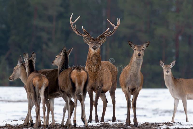 成人伟大的鹿鹿Elaphus,热忱的景深,围拢由牧群 高尚的雷德迪尔,站立在白俄罗斯森林P里 库存照片