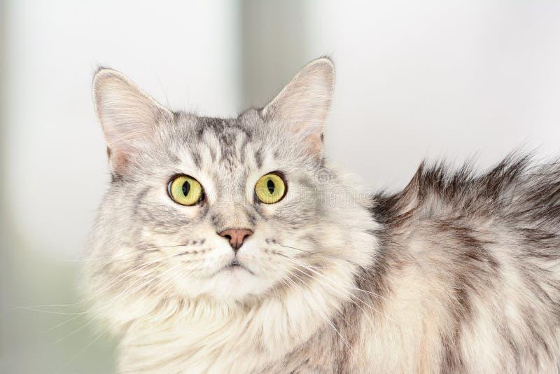 成人凝视与害怕的神色的缅因浣熊接近的画象  银色平纹严肃的猫 库存照片