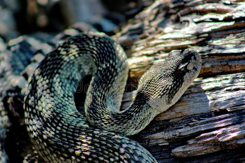 成人北和平的响尾蛇,锡斯基尤县,加利福尼亚北部,美国 免版税库存照片