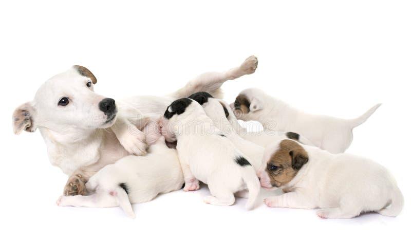 成人和小狗起重器罗素狗 免版税库存图片