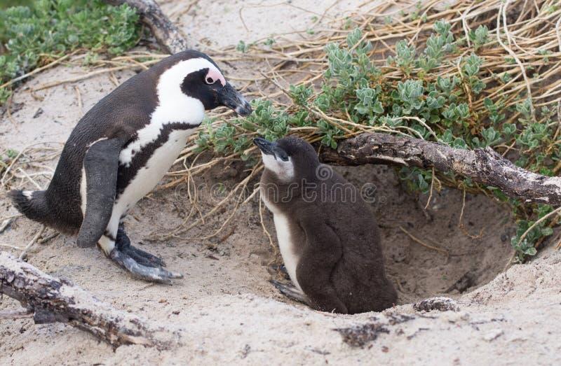 成人和小非洲人企鹅 免版税库存照片