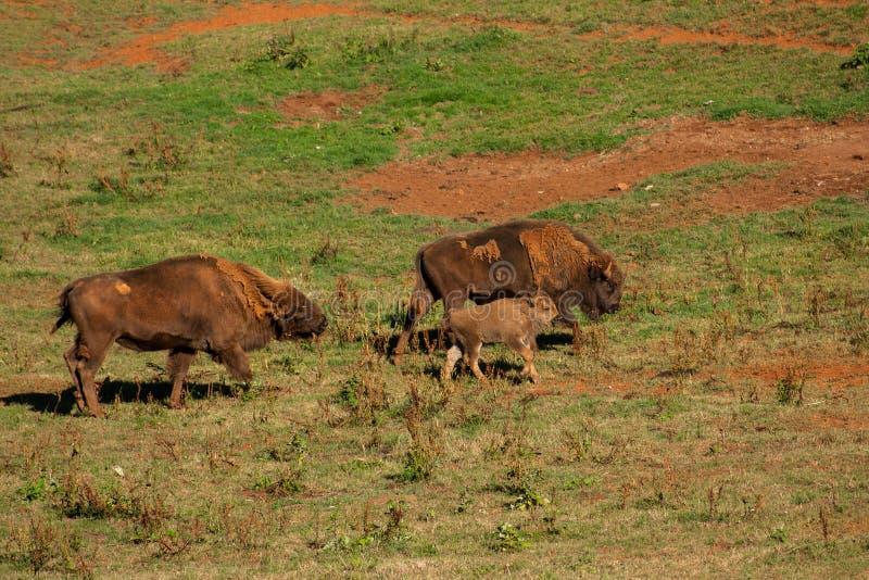 成人围拢的年轻北美野牛走通过领域 库存图片