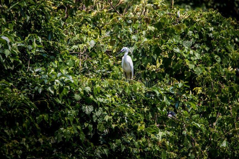 成人在树的鸟白色白鹭属Garzetta 在公园台北市的小白鹭 库存照片