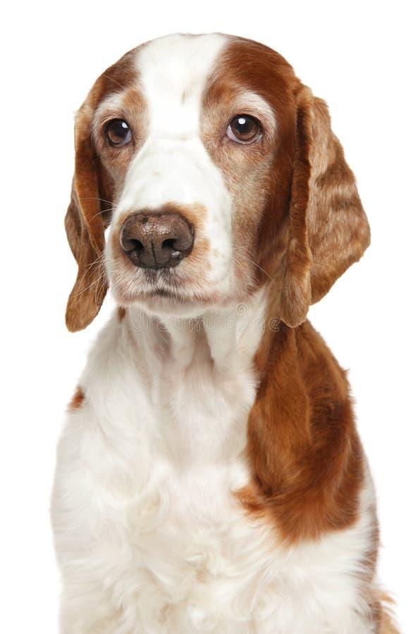 成人威尔士猎Z狗 免版税库存照片