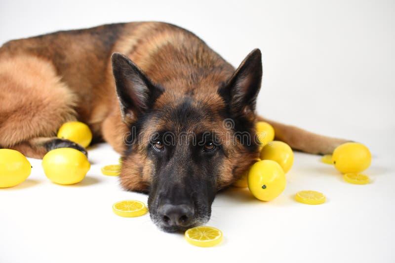 成人德国牧羊犬, 5岁画象  免版税库存照片