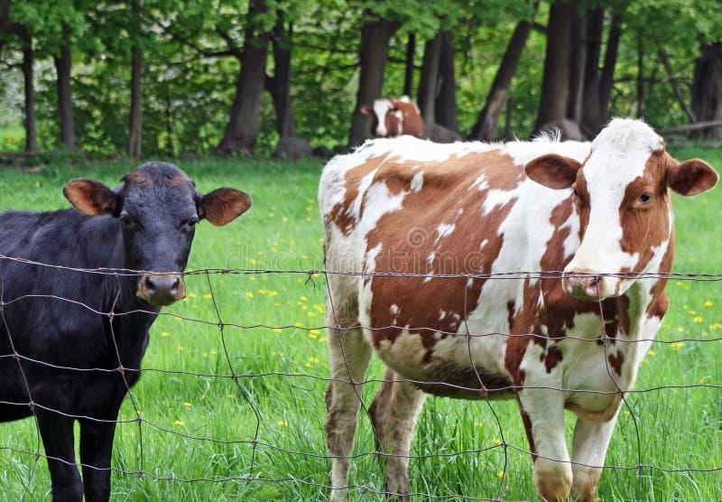 成人棕色和白色母牛和一个年轻黑小牛身分在篱芭在国家农场 免版税库存照片