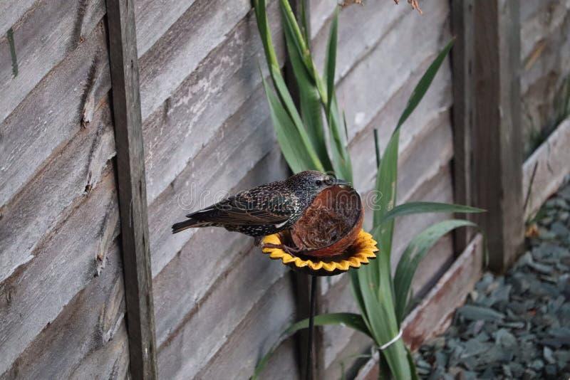 成人椋鸟鸟在哺养在膳食的庭院慢行 图库摄影