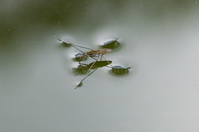 成人水strider宝瓶星座remigis在庭院筑成池塘 免版税库存图片