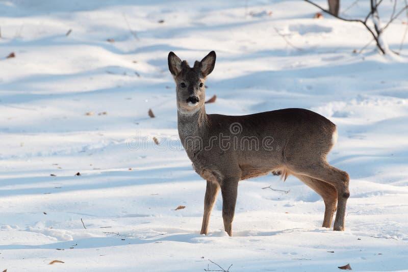 成人狍在森林在冬天晒干 免版税库存照片